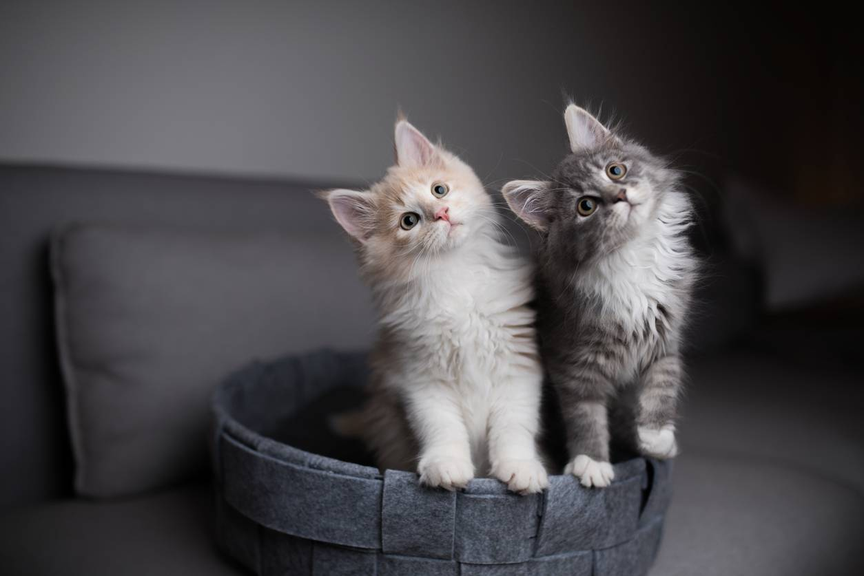chats panier